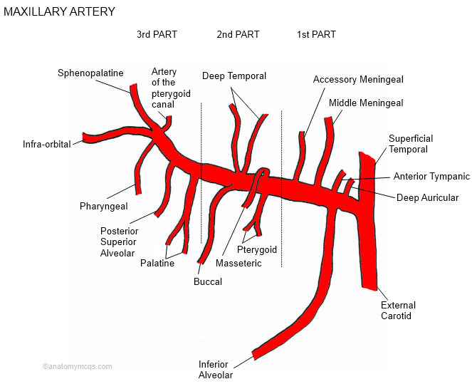 Carotid Artery  First Branch Of External Carotid Artery