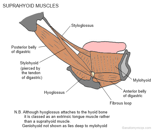 Any comments or corrections  Please e-mail help cambridgequestions co    Suprahyoid Muscles